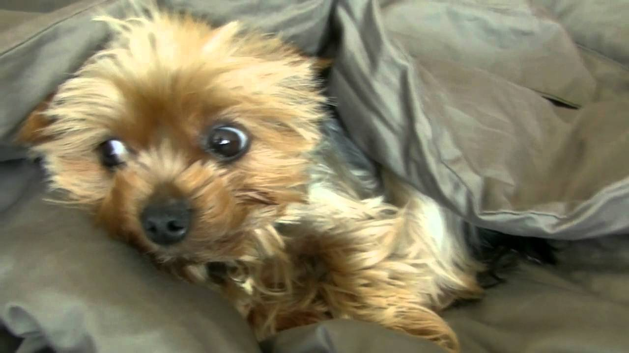 Yorkshire terrier funny pictures