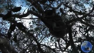 The Marvellous Koala by Immy Thumbnail