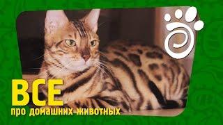 Бенгальская Порода Кошек: Маленький Леопард. Все О Домашних Животных