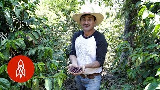 Harvesting Volcanic Coffee