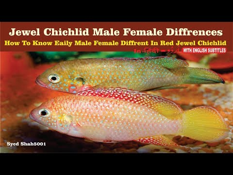 Red jewel fish male female differences how to find easy male female jewel fish