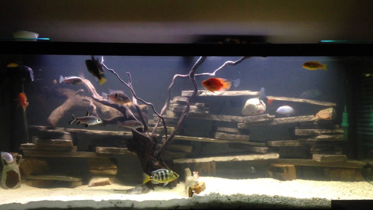 Freshwater aquarium fish in south africa - My 120 Gallon Fish Tank African South American Cichlids Reticulated Stingray Others