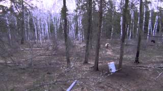 Alberta Blond Bear Hunt 2012
