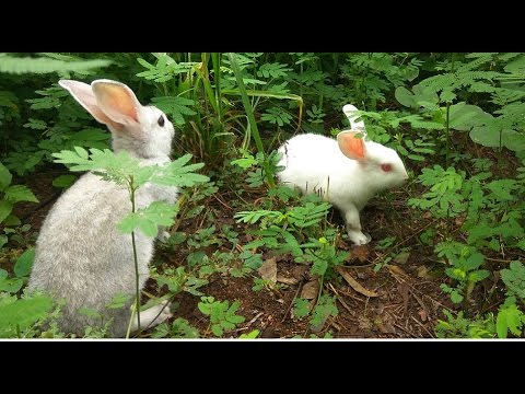 Rabbit Farming Techniques by ANR Rabbit Farms : Video by   V6 News