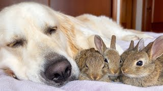 Golden Retriever and Baby Bunnies Sleep Together [Cuteness Overload]