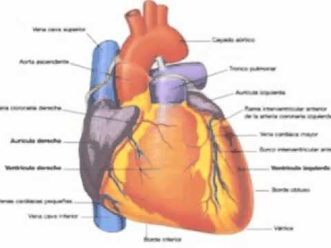 Anatomia del corazon.3gp - YouTube