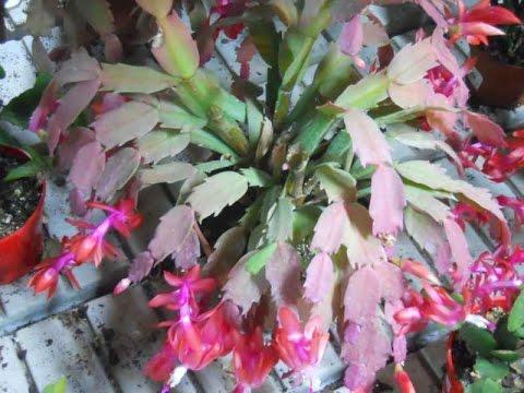 Cuidados y Mantenimiento del Cactus de Bosque - TvAgro por Juan Gonzalo Angel
