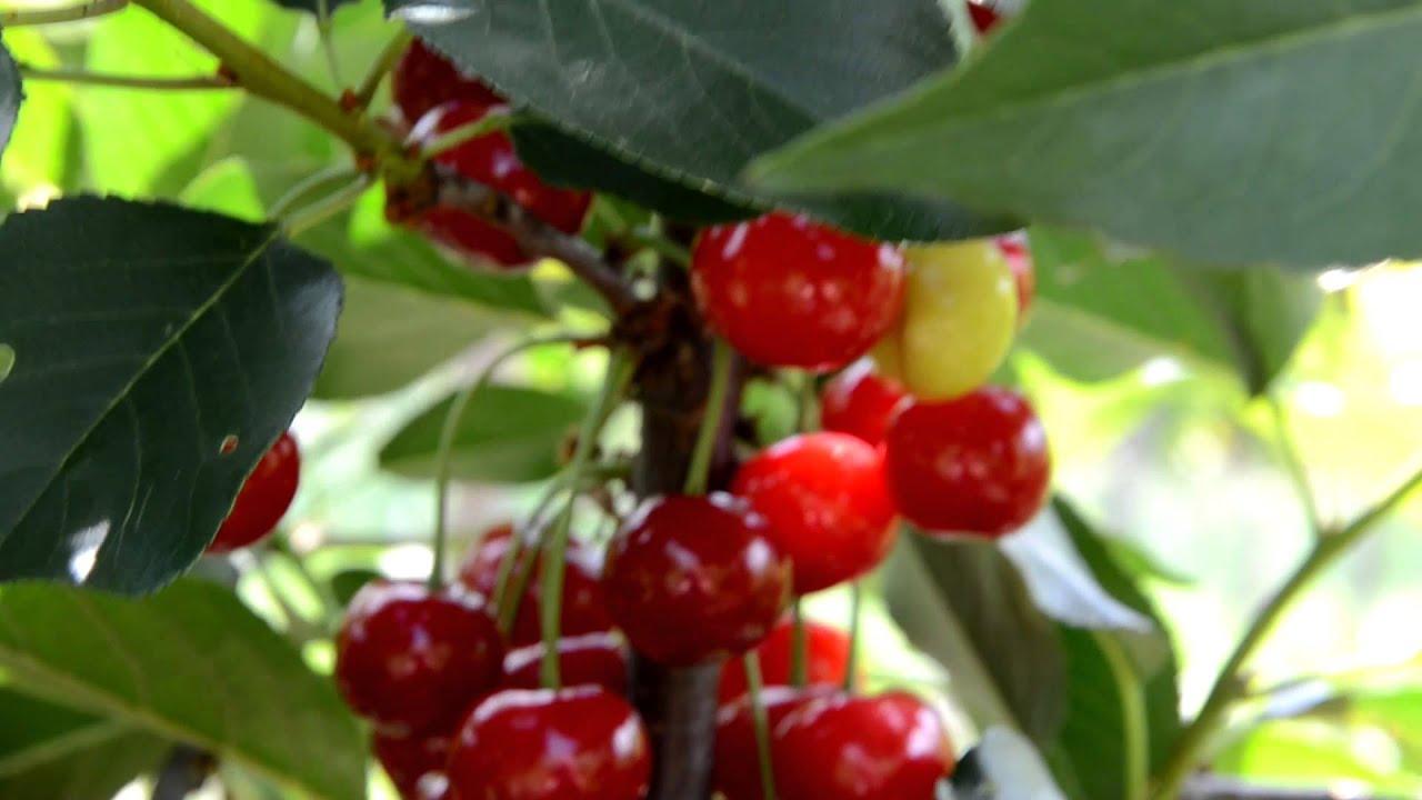 Стамески две вишни. Kirschen стамески для резьбы по дереву - YouTube