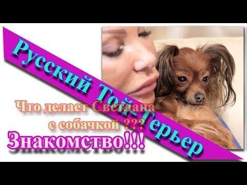 Русский той длинношерстный выставка Кинолог Профи 06 12 2015 - YouTube