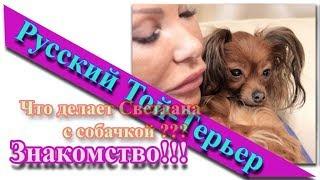 Русский длинношерстный той терьер  Что делает Светлана с собачкой
