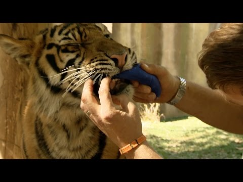 Spot and Stripe get big teeth - Tigers about the House: What Happened Next: Episode 1 - BBC Two