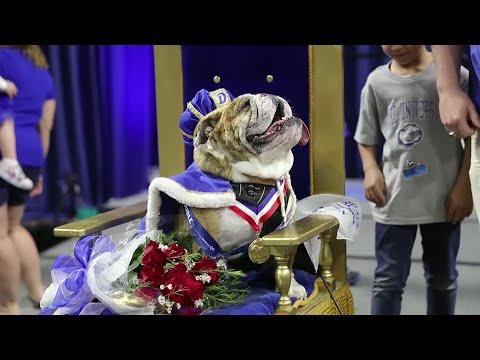 3-year-old wins annual bulldog beauty contest