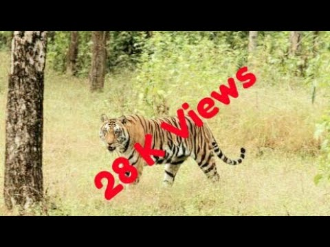 Tiger Live in Forest   Tiger in Sabarimala Road