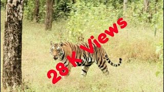 Tiger Live in Forest | Tiger in Sabarimala Road