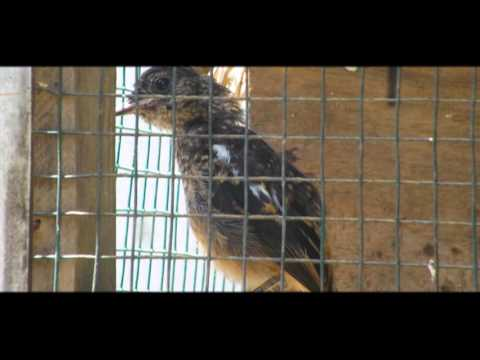 Burung Decu Jantan Dan Betina Kacer Mini By Astina Kepakisan