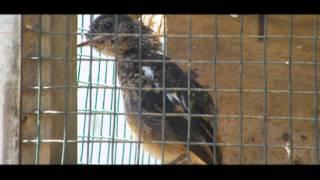 Burung Decu Jantan dan Betina (Kacer Mini)
