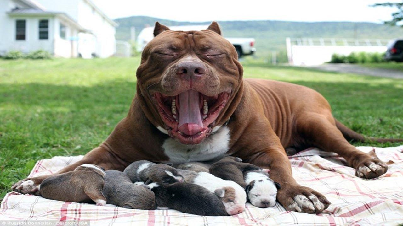 питбультерьер щенки фото