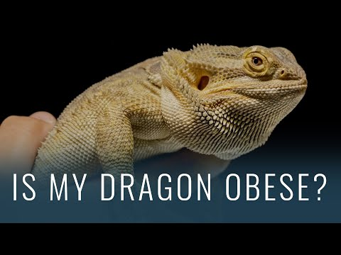 How to Tell if Your Bearded Dragon is OBESE (and Fixing It!)