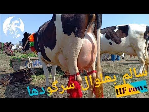 Repeat Qurbani/قربانی ke bakre for sale in mandi,Sargodha by