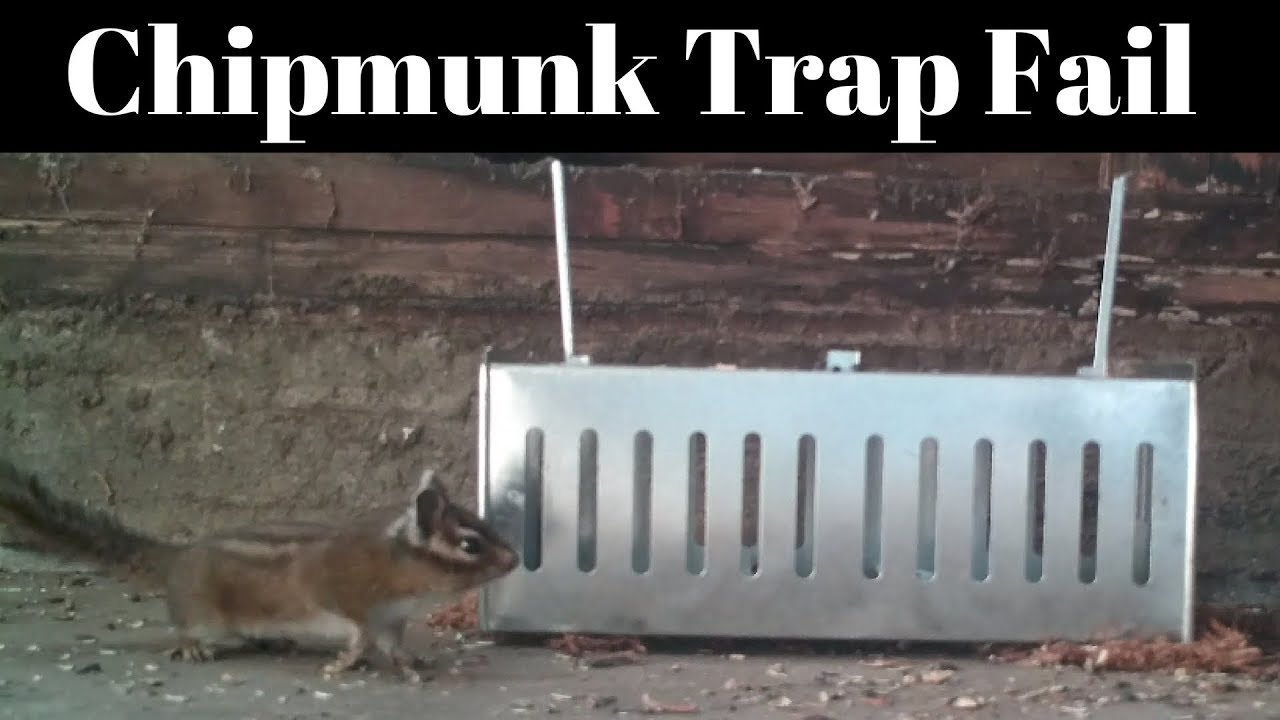 chipmunk-trap-fail-slow-trap-can-t-catch-a-fast-chipmunk-in-the-barn