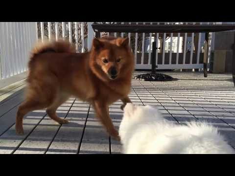 American Eskimo puppy challenged an older Finnish Spitz