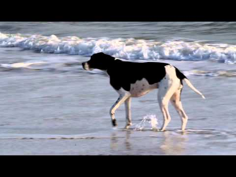 Roxy The English Pointer playing in the surf at Emerald Isle NC