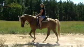 Trigger SAFE for ANY Rider Palomino Gaited Trail Horse For Sale.wmv