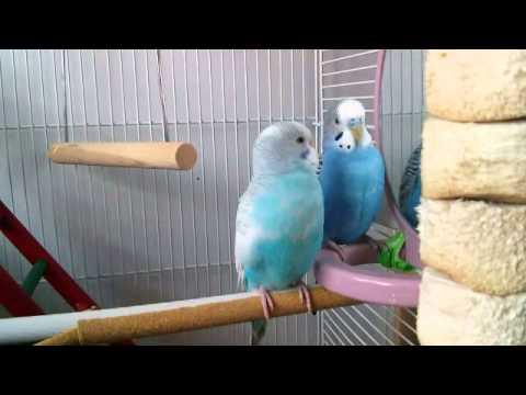 quay lén chim yến phụng hôn nhau