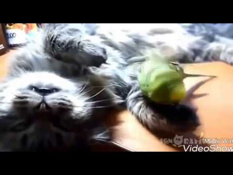 Budgie Parrot Playing with Cat, cat is Relex