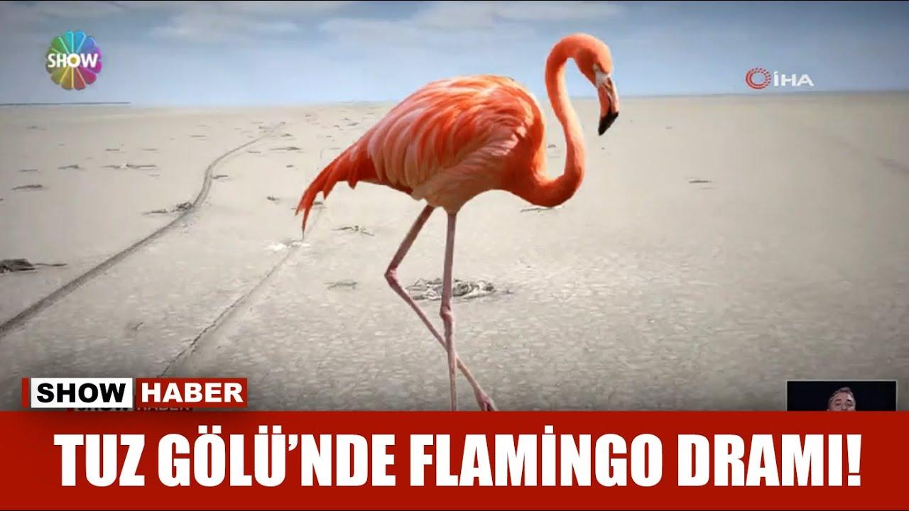 Download Tuz Gölü'nde Flamingo dramı!