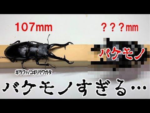 カブトムシ+クワガタ 107mm�ギラファ����ゃ�見�るん��…(�����ャン�ル)