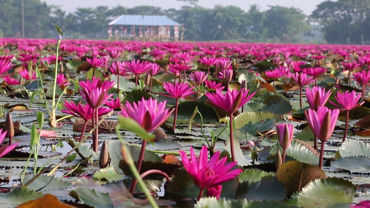 Image result for লাল শাপলার বিল