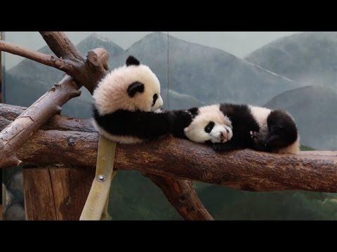 Giant panda twins enjoy play day at Atlanta Zoo