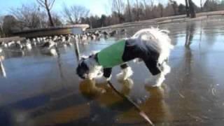 いつもお散歩に行く公園の池が凍っていたので、はちべえを歩かせてみた。