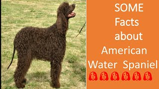 American Water Spaniels || #Nineteenth part :: about dog breeds ¦¦ by Dogumentery on Breeds