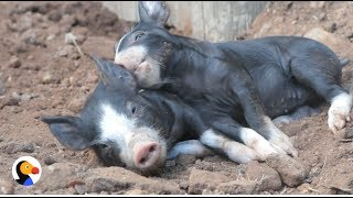 Mom Pig Is So Happy After Being Reunited With Babies | The Dodo