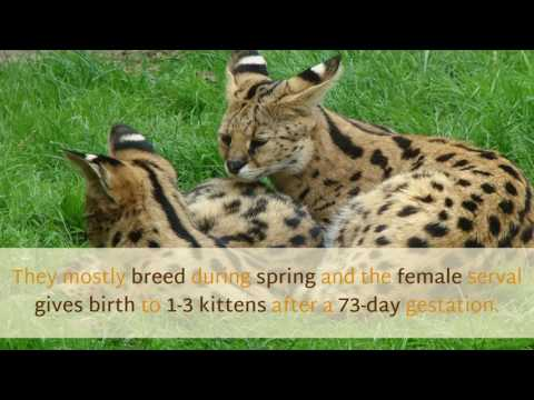 17 Interesting Facts You Need To Know About Serval