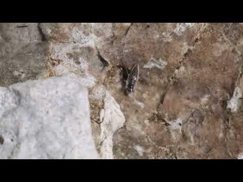 Alkali fly walking underwater