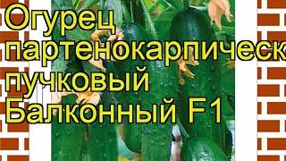 Огурец Балконный (Огурец). Краткий обзор, описание характеристик, где купить семена cucumis sativus