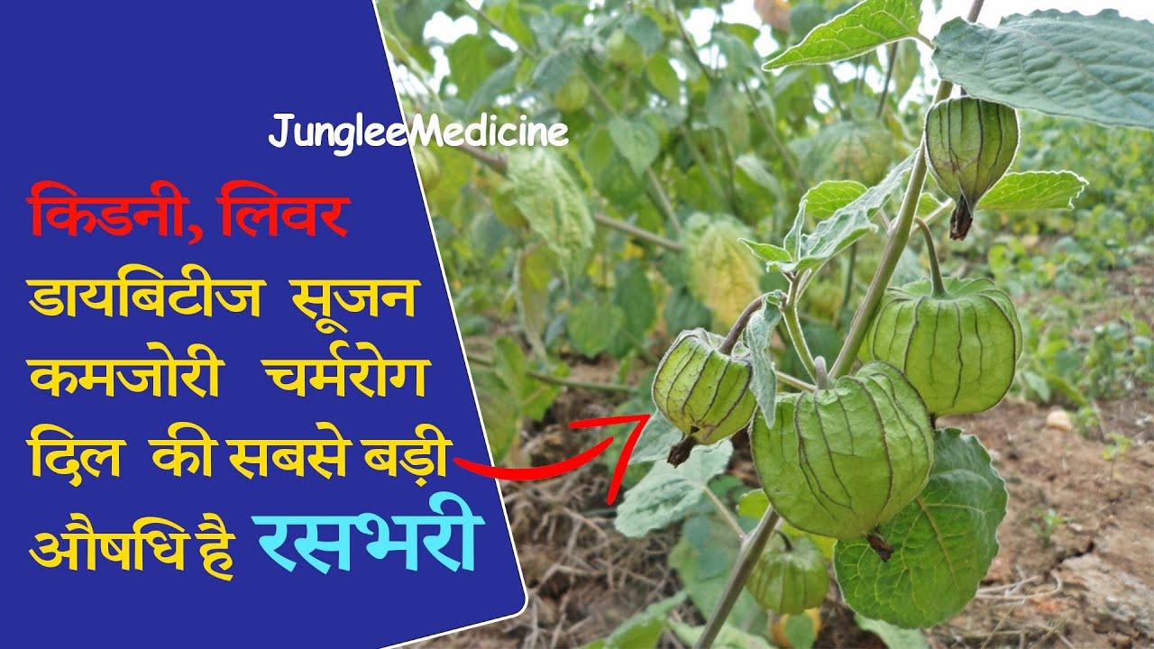 आयुर्वेद का चमत्कार, दुनिया की सबसे ताकतवर औषधि रसभरी का पौधा पहचान लो /Physalis peruviana