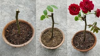 GROW ROSES FROM CUTTINGS thumbnail