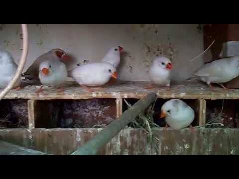 How to Breed Zebra Finches