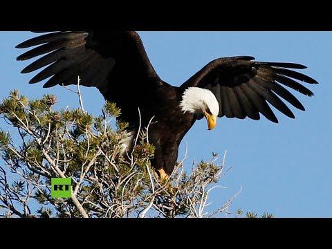 RT en Español: Águila cuida y alimenta a sus polluelos en el nido