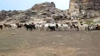 Premier soir dans ou près du Gobi, Mongolie - regroupement des chèvres avant la nuit