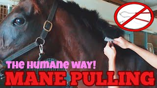 How To Pull A Horse's Mane // Sensitive Horses Version!