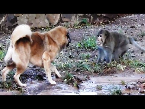 Monkey Vs Dog - Big Boss Monkeys Want To Fight With Big Dogs