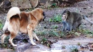 Monkey Vs Dog - Big Boss Monkeys Want To Fight With Big Dogs