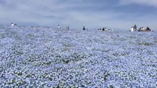 ネモフィラの丘~ひたち海浜公園 ネモフィラの丘 検索動画 11