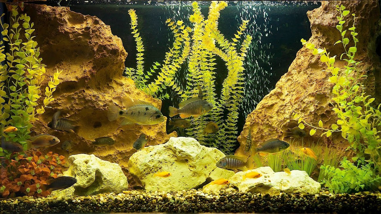 Freshwater fish tank yellow water - Freshwater Fish Tank Yellow Water