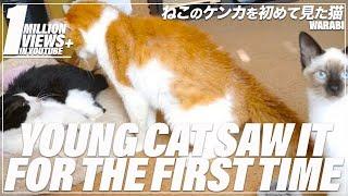 喧嘩を初めて見た若い猫(わらび)の反応とは。 Subscribe Here: https:...